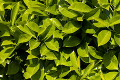 Fogli maturi e verdi dell'alloro di ciliegia Immagini Stock Libere da Diritti