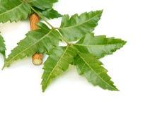 Fogli medicinali del neem Fotografia Stock Libera da Diritti