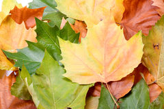 Fogli nei colori di autunno Fotografia Stock