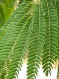 Fogli persiani dell'albero di seta Fotografie Stock