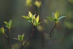 Fogli in primavera Fotografia Stock Libera da Diritti