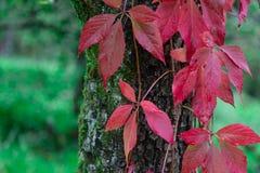 Fogli rossi Fotografia Stock