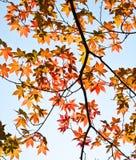 Fogli rossi dell'acero Fotografia Stock