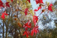 Fogli rossi dell'albero di Sweetgum Fotografia Stock Libera da Diritti