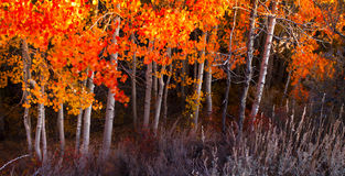 Fogli rossi dell'Aspen Fotografie Stock Libere da Diritti