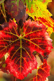 Fogli rossi dell'uva di autunno Fotografie Stock Libere da Diritti