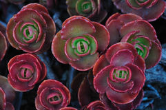 Fogli rossi della pianta Fotografie Stock Libere da Diritti