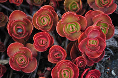 Fogli rossi della pianta Immagini Stock