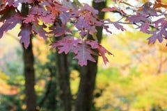 Fogli rossi della quercia di autunno Fotografia Stock Libera da Diritti