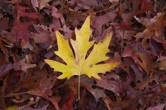 Fogli rossi e gialli di autunno vibrante Immagini Stock Libere da Diritti