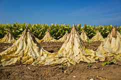 Fogli secchi del tabacco Fotografia Stock Libera da Diritti