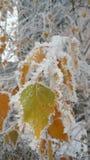 Fogli sotto la neve Fotografia Stock Libera da Diritti