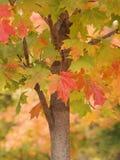 Fogli sull'albero di autunno Immagini Stock