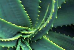 Fogli sviluppati a spiraleare e chiodati della Vera dell'aloe Fotografie Stock Libere da Diritti