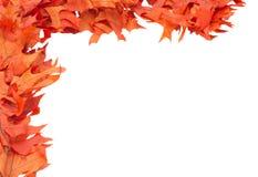 Fogli variopinti della quercia rossa Fotografie Stock