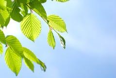 Fogli verde intenso immagini stock