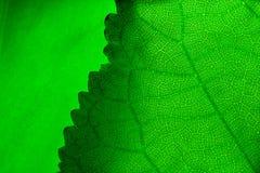 Fogli verdi fotografie stock