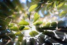 Fogli verdi con i sunrays Immagini Stock