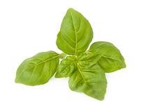 Fogli verdi del basilico Fotografia Stock