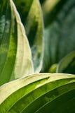 Fogli verdi del Hosta Fotografie Stock Libere da Diritti
