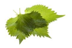 Fogli verdi del Perilla isolati Fotografie Stock Libere da Diritti