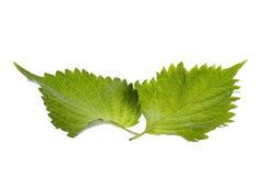 Fogli verdi del Perilla isolati Immagine Stock