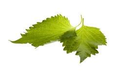 Fogli verdi del Perilla isolati Immagini Stock