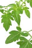 Fogli verdi del pomodoro Fotografie Stock