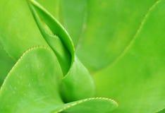 Fogli verdi dell'agave Immagine Stock Libera da Diritti