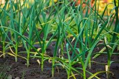 Fogli verdi dell'aglio sulla giardino-base Fotografia Stock Libera da Diritti