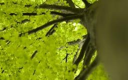 Fogli verdi dell'albero Fotografie Stock Libere da Diritti