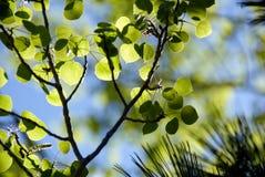 Fogli verdi dell'Aspen della sorgente Fotografie Stock Libere da Diritti