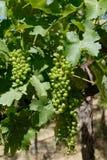 Fogli verdi dell'uva e nuova uva Immagini Stock Libere da Diritti