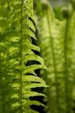 Fogli verdi della felce Fotografie Stock Libere da Diritti