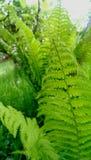 Fogli verdi della felce immagini stock libere da diritti