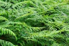 Fogli verdi della felce Fotografia Stock Libera da Diritti