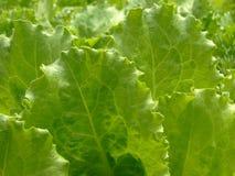 Fogli verdi della lattuga Fotografie Stock