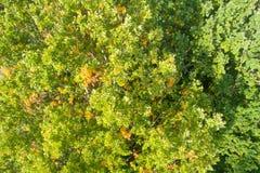 Fogli verdi della quercia immagine stock
