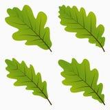 Fogli verdi della quercia Immagini Stock Libere da Diritti