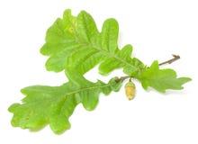 Fogli verdi della quercia Fotografia Stock