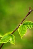 Fogli verdi della sorgente Fotografie Stock