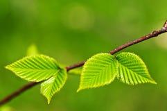 Fogli verdi della sorgente Immagine Stock Libera da Diritti