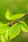 Fogli verdi della sorgente Immagine Stock
