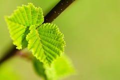 Fogli verdi della sorgente Fotografie Stock Libere da Diritti