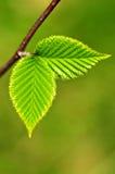 Fogli verdi della sorgente Fotografia Stock