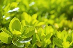 Fogli verdi della sorgente Immagini Stock Libere da Diritti