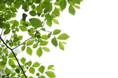 Fogli verdi della sorgente su priorità bassa bianca Fotografia Stock Libera da Diritti