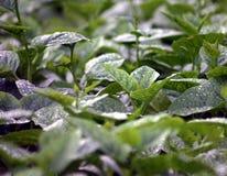 Fogli verdi della verdura Fotografia Stock Libera da Diritti