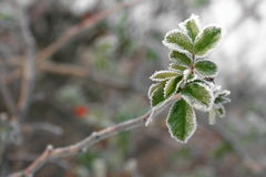 Fogli verdi di Briar di inverno Fotografia Stock