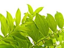 Fogli verdi di estate con le gocce di rugiada Fotografia Stock